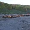 Elephant seal wallow