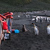 Inquisitive fur seals and king penguins