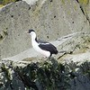 An adult blue-eyed shag.