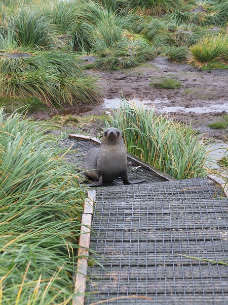 We had to keep on the boardwalk and the fur seals used them too. Much easier than hiking up the hill through the tussac grass.