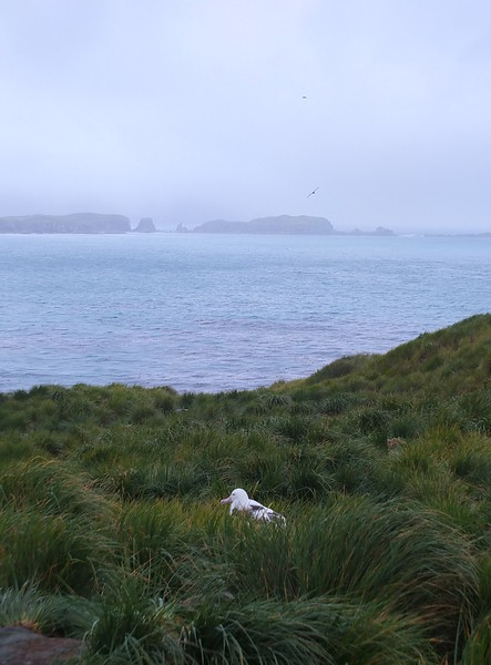 A dozen or so pairs of Wandering albatross nest on Prion Island