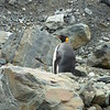 This king penguin was a good 45 minutes walk from the beach we landed at.
