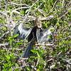 A female Anhingas bird.