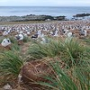 Some 157,000 pairs of Black-browed albatross are spread out over 3 miles in the largest albatross colony in the world.