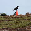 Caracaras fighting over the orange cones the staff put out