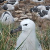 The young albatross were 2-4 weeks from fledging.