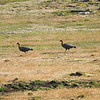 A pair of female upland geese