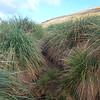 Tussac grass