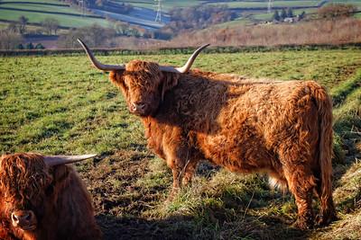 Highland Cattle, Trebandy Farm