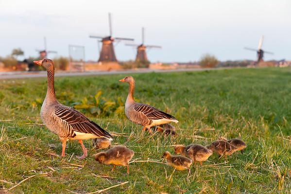 Animal family near Kinderdijk at sunset, South Holland, Netherlands