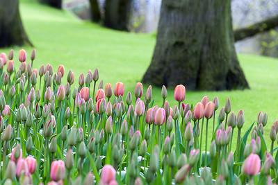 Tulips in garden of Keukenhof, Am Lisse, Netherlands