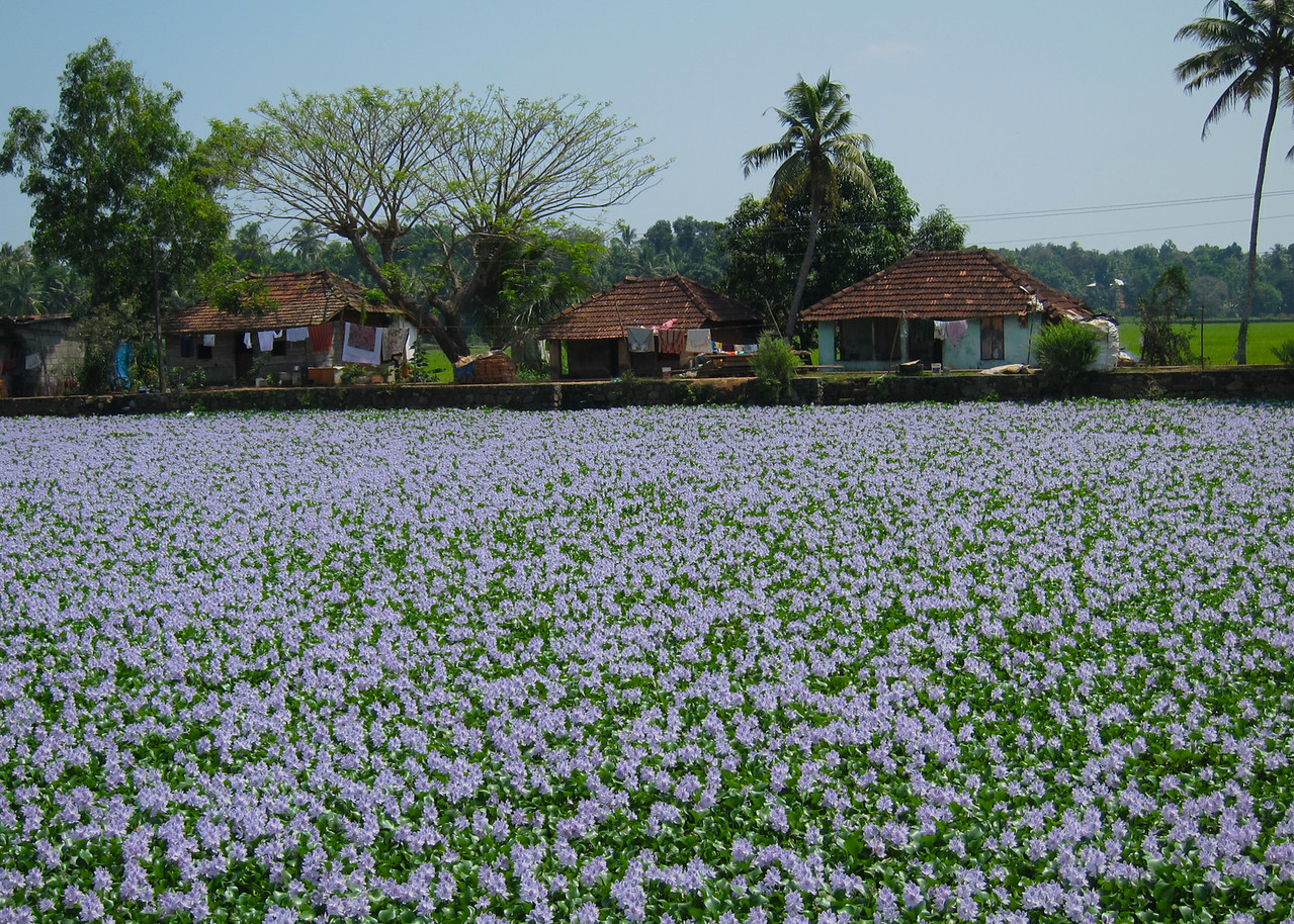 Lily pads covering a canal in Alleppey, Kerala