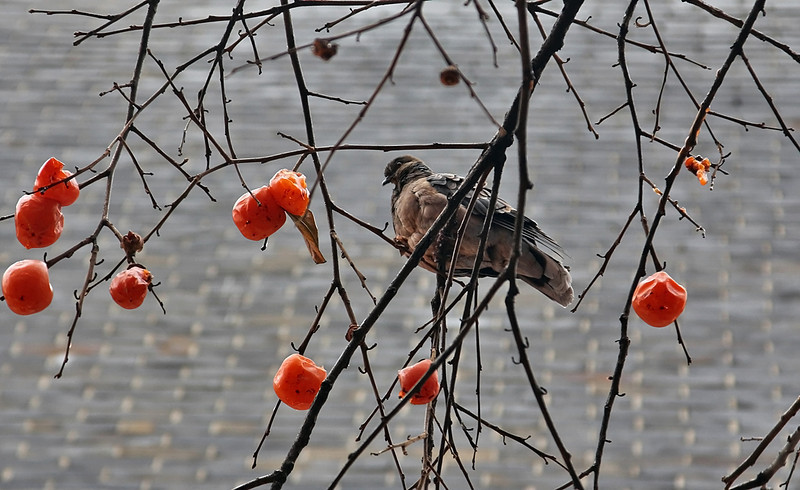 Pigeon and persimmons, against a high-rise building, downtown Seoul.