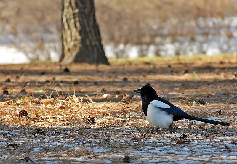 Korean Magpie - the national bird of Korea