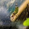 Orb Weaver Spider (Araneidae) 4
