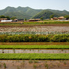 <p>Rice plants. Hahoe Folk Village, Andong, South Korea</p>