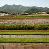 <p>Rice plants. Hahoe Folk Village, Andong, South Korea</p>