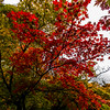 Red Autumn Leaves 3