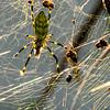 Orb Weaver Spider (Araneidae) 2