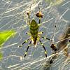 Orb Weaver Spider (Araneidae) 3