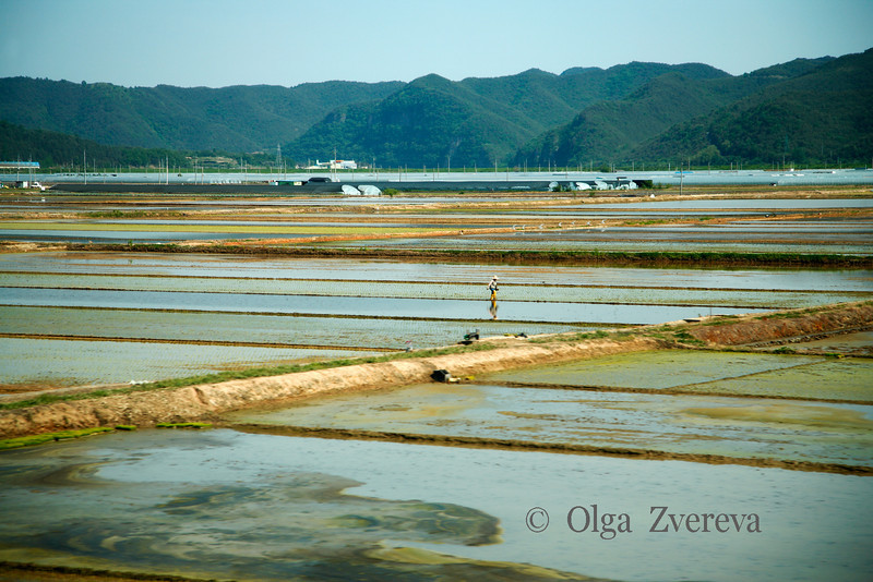 <p>Rice Fields. Andong, South Korea</p>