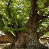 <p>This Zelkova tree has already lived 600th years. Village's Sacred Space. Hahoe Folk Village, Andong, South Korea</p>