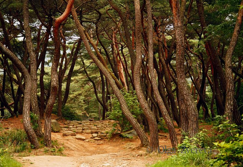 <p>Pine tree forest on entrance to  Samneung-gol Valley, Mt.Namsan area, Gyengju, South Korea</p>