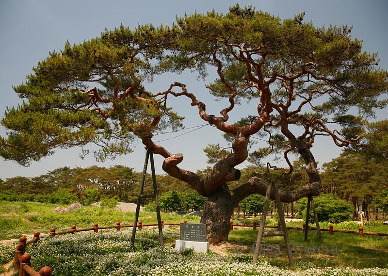 <p>Old Tree at Hahoe Folk Village, Andong, South Korea</p>