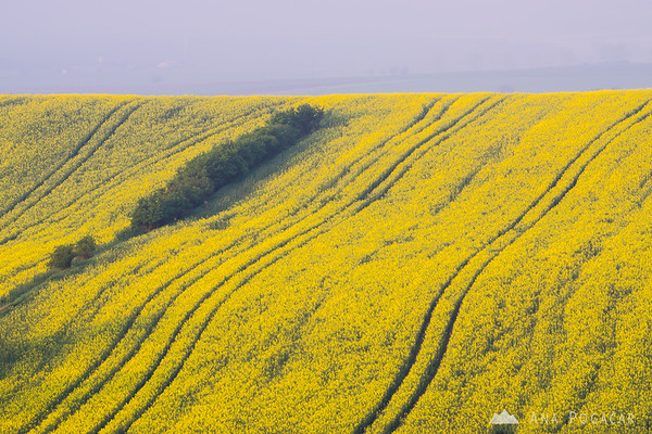Early morning in the rolling fields of South Moravia