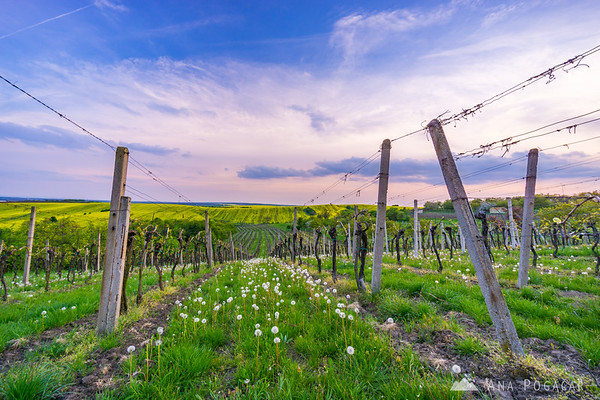 Vineyards and fields of South Moravia at dusk