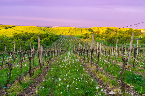 Soft morning light in a vineyard