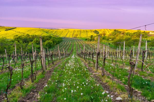 Soft morning light in a vineyard