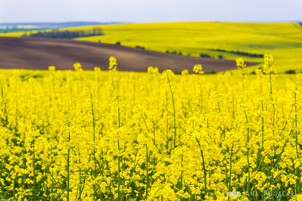 Rapeseed fields of South Moravia