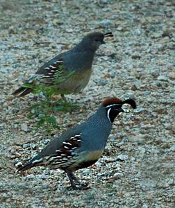 Mr & Mrs Quail_birds 3838