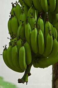 Bananas, Fiji