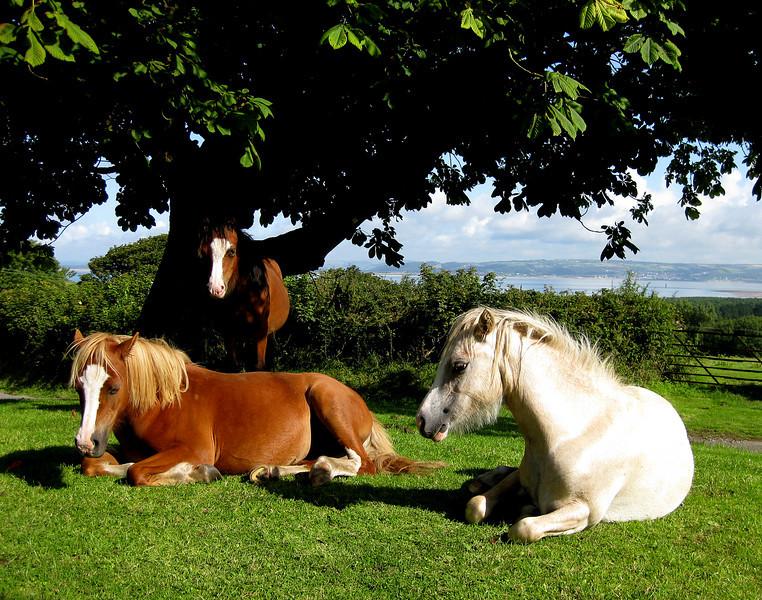 Wild ponies, Gower