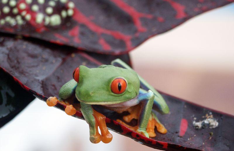 Golden eyed leaf frog (Agalychnis callidryas)