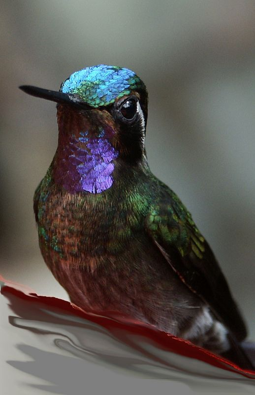 Of the 300+ species of hummingbirds in the Americas, 51 of them are in Costa Rica.