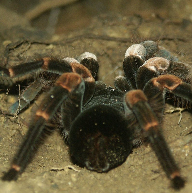 Costa Rican Zebra Tarantula - poisonous but not deadly.