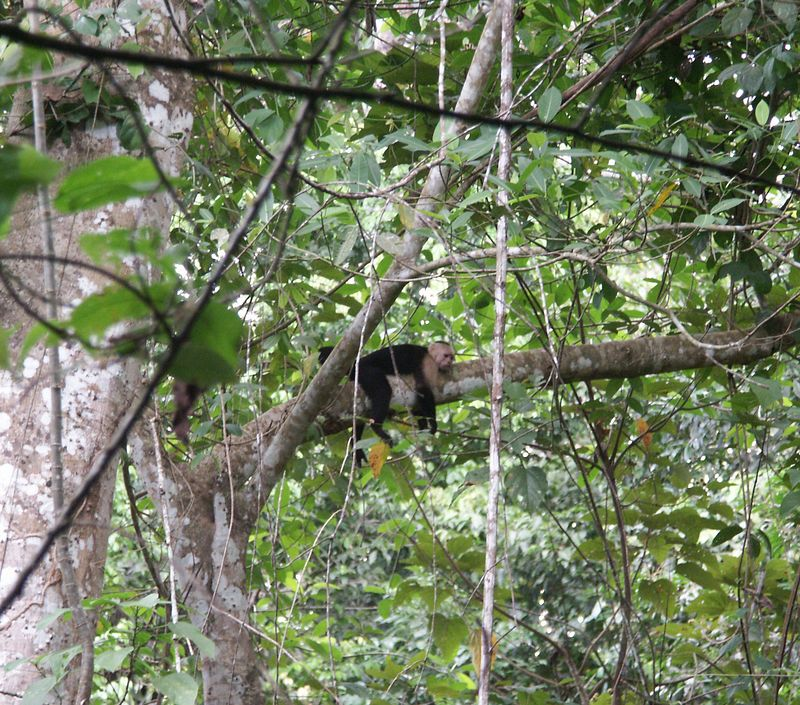 White-faced capuchin: highly intelligent, social, and playful.