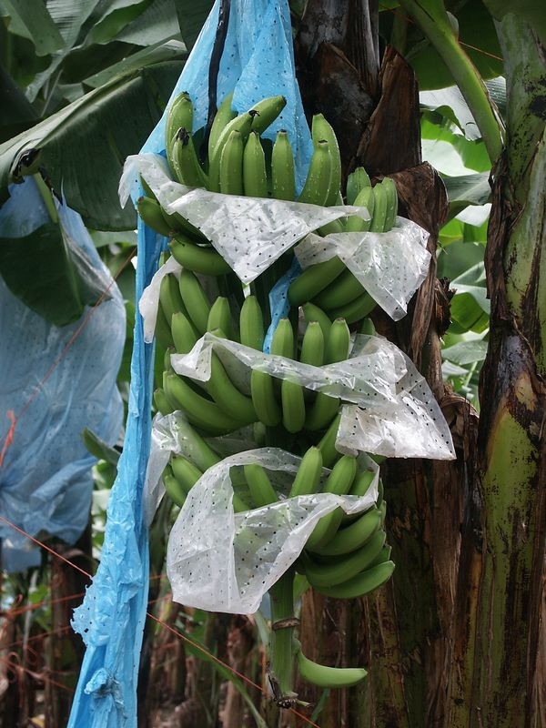 Eastern Costa Rica is known for its plantations (coffee and banana). Another 7 days and these bananas are shipped abroad.