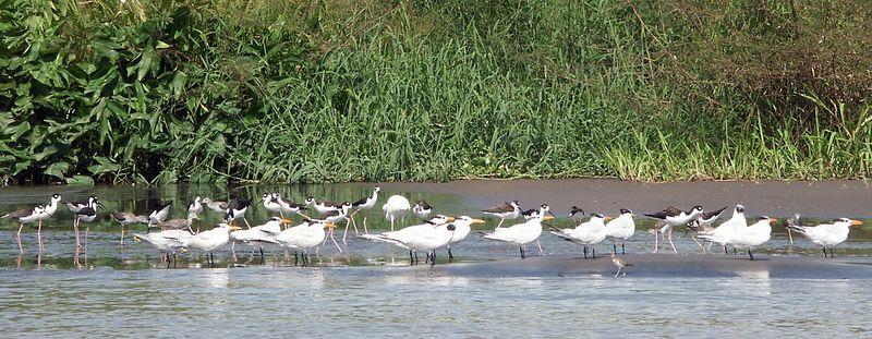 More than 850 species of birds in Costa Rica: Black-necked Stilt, gulls, ...