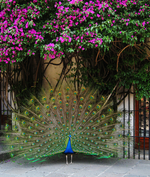 The peacocks at the Dolores Olmedo Museum made their presence know through their loud calls and displays. This one was beautiful under the bougainvillea bracts. April, 2009.