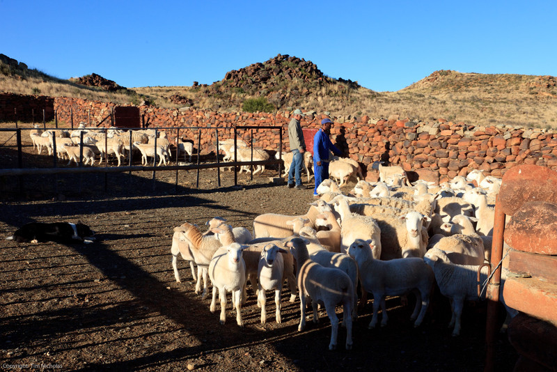 Osfontein Guest Farm counting sheep
