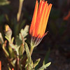 Namaqualand flowers, early morning, waiting for the sun to warm me up!