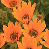 Namaqualand flowers, near Port Nolloth