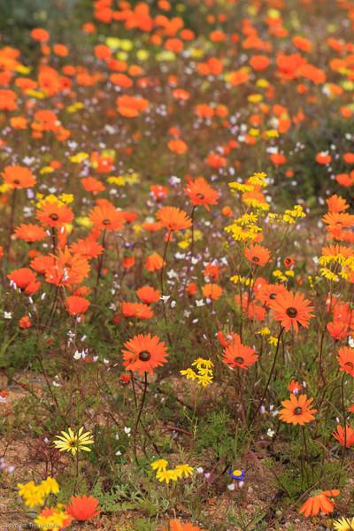 Namaqualand flowers, Skilpad