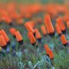Namaqualand flowers after sundown