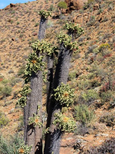 Halfmens tree, on Halfmens Pass
