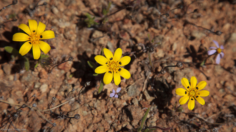 Flowers on Akkedis Pass